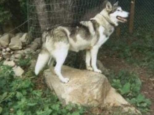 Amerikansk indianerhund, hunderase, hunderaser, hund, hunder, rase, rasehund, amerikansk, indianerhund