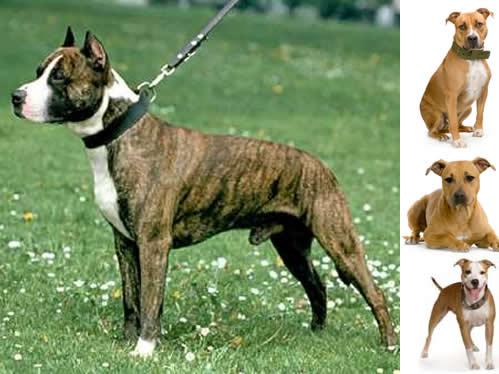 Amerikansk staffordshireterrier, hunderase, hunderaser, hund, hunder, rase, rasehund, hunderase.com