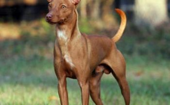 Andalusian Podenco