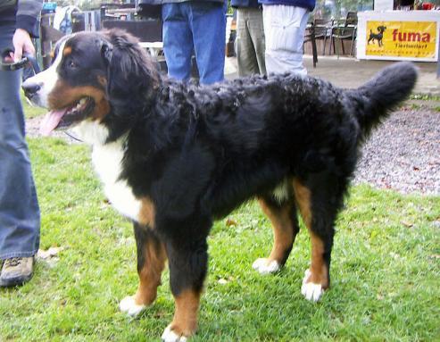 Berner sennenhund, hunderase, hunderaser, hund, hunder, rase, rasehund, hunderase.com