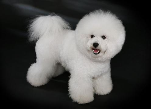 Bichon Frise, hunderase, hunderaser, hund, hunder, rase, rasehund, bichon, frise