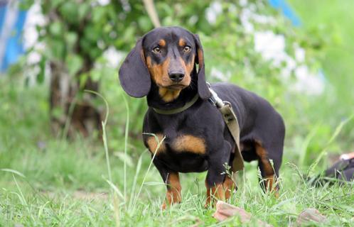 Dachshund, hunderase, hunderaser, hund, hunder, rase, rasehund, hunderase.com