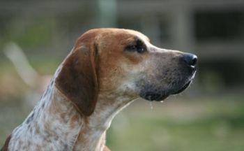 Engelsk Foxhound
