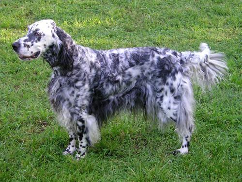 Engelsk Setter, hunderase, hunderaser, hund, hunder, rase, rasehund, engelsk, setter
