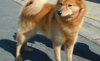 Finsk spisshund