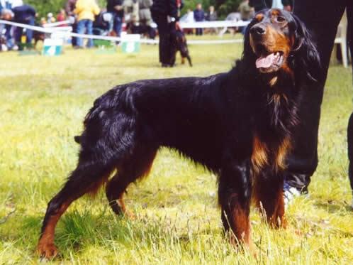 Gordon Setter, hunderase, hunderaser, hund, hunder, rase, rasehund, hunderase.com