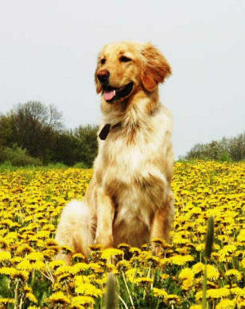 Hovawart, hunderase, hunderaser, hund, hunder, rase, rasehund, hunderase.com