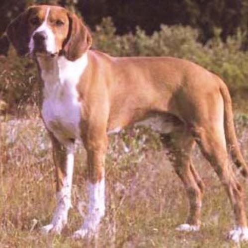 Hygen hund, hunderase, hunderaser, hund, hunder, rase, rasehund, hunderase.com