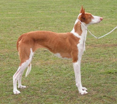 Ibiza mynde, hunderase, hunderaser, hund, hunder, rase, rasehund, ibiza, mynde
