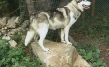 Indianerhund