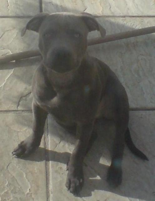 Irsk staffordshireterrier, hunderase, hunderaser, hund, hunder, rase, rasehund, hunderase.com