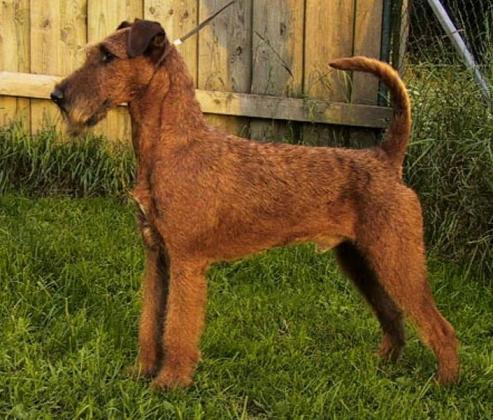 Irsk terrier, hunderase, hunderaser, hund, hunder, rase, rasehund, irsk, terrier