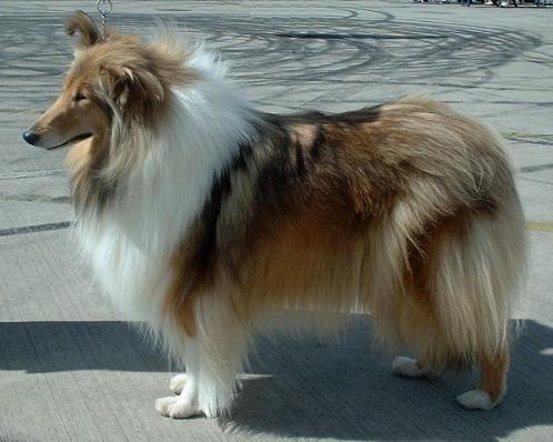 Langhåret collie, hunderase, hunderaser, hund, hunder, rase, rasehund, langhåret, collie