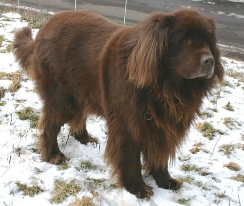 Newfoundlanshund, hunderase, hunderaser, hund, hunder, rase, rasehund, newfoundlanshund