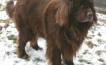 Newfoundlanshund