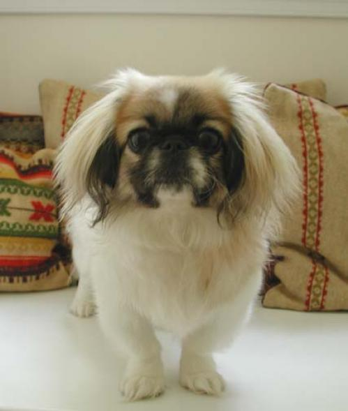 Pekingeser, hunderase, hunderaser, hund, hunder, rase, rasehund, pekingeser