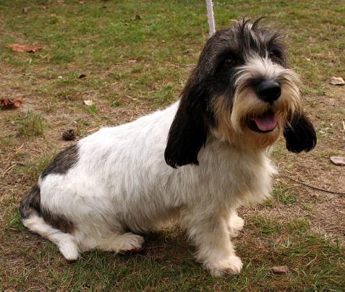 voksen pocket beagle