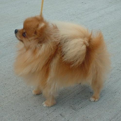 Pomeranian, hunderase, hunderaser, hund, hunder, rase, rasehund, hunderase.com