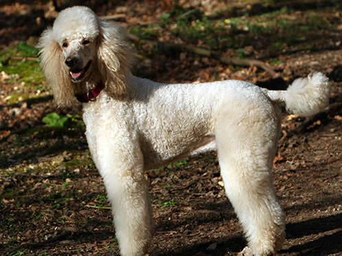 Puddel, hunderase, hunderaser, hund, hunder, rase, rasehund, hunderase.com