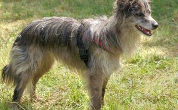 Pyrenesk gjeterhund
