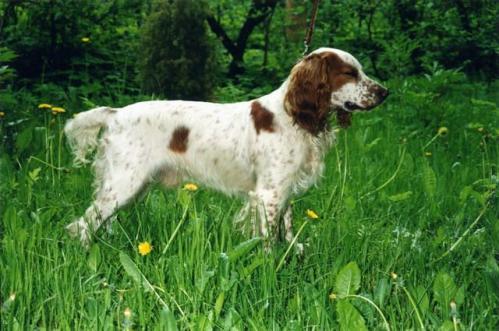 Russisk spaniel, hunderase, hunderaser, hund, hunder, rase, rasehund, hunderase.com