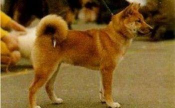 Sanshu hund