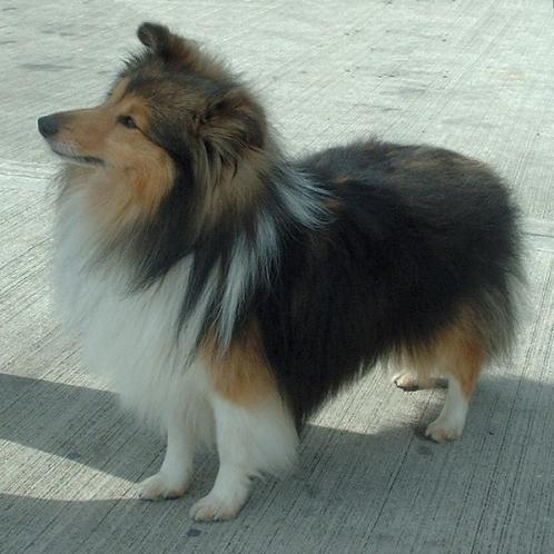 shetland sheepdog f info om hunderasen shetland sheepdog her og n hunderase. Black Bedroom Furniture Sets. Home Design Ideas
