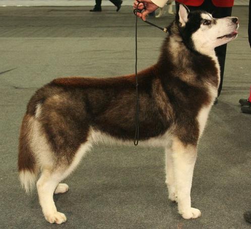 Siberian Husky: Les mer om rasen Siberian Husky her ...