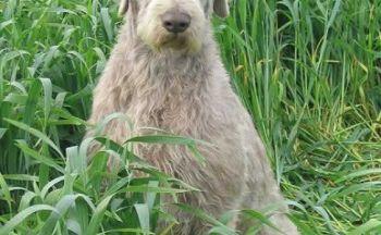 Slovakisk vorstehhund ruh�ret