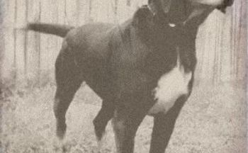 Stephens Stock Mountain Cur