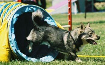 Svensk vallhund
