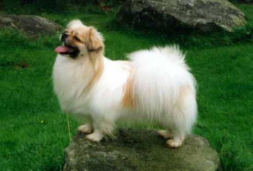 Tibetansk spaniel, hunderase, hunderaser, hund, hunder, rase, rasehund, tibetansk, spaniel