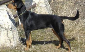 Transylvanian Hound