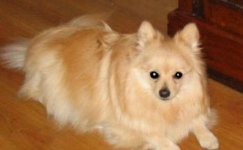 Tysk miniatyr spisshund