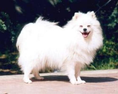 Volpino Italiano, hunderase, hunderaser, hund, hunder, rase, rasehund, volpino, italiano