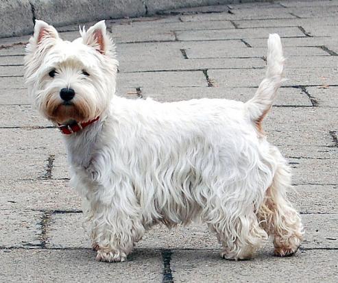 West Highland White Terrier, hunderase, hunderaser, hund, hunder, rase, rasehund, west, highland, white, terrier