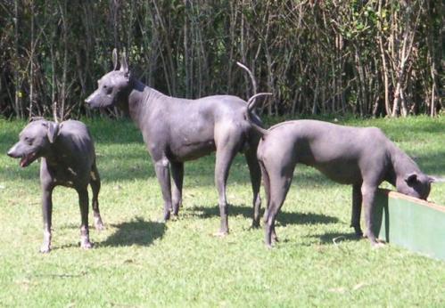 Xoloitzcuintli, hunderase, hunderaser, hund, hunder, rase, rasehund, xoloitzcuintli
