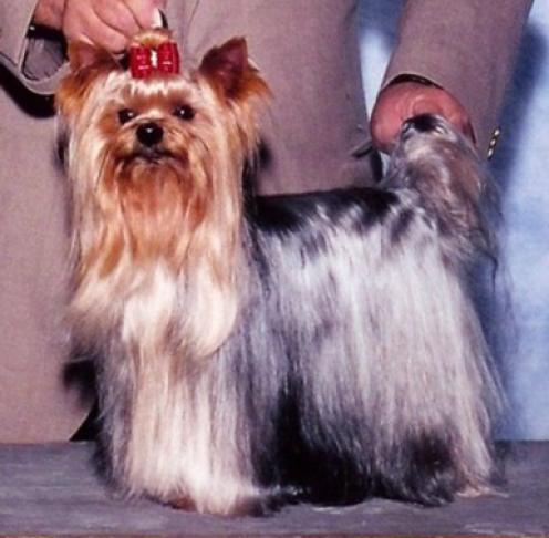 Yorkshire Terrier, hunderase, hunderaser, hund, hunder, rase, rasehund, yorkshire, terrier